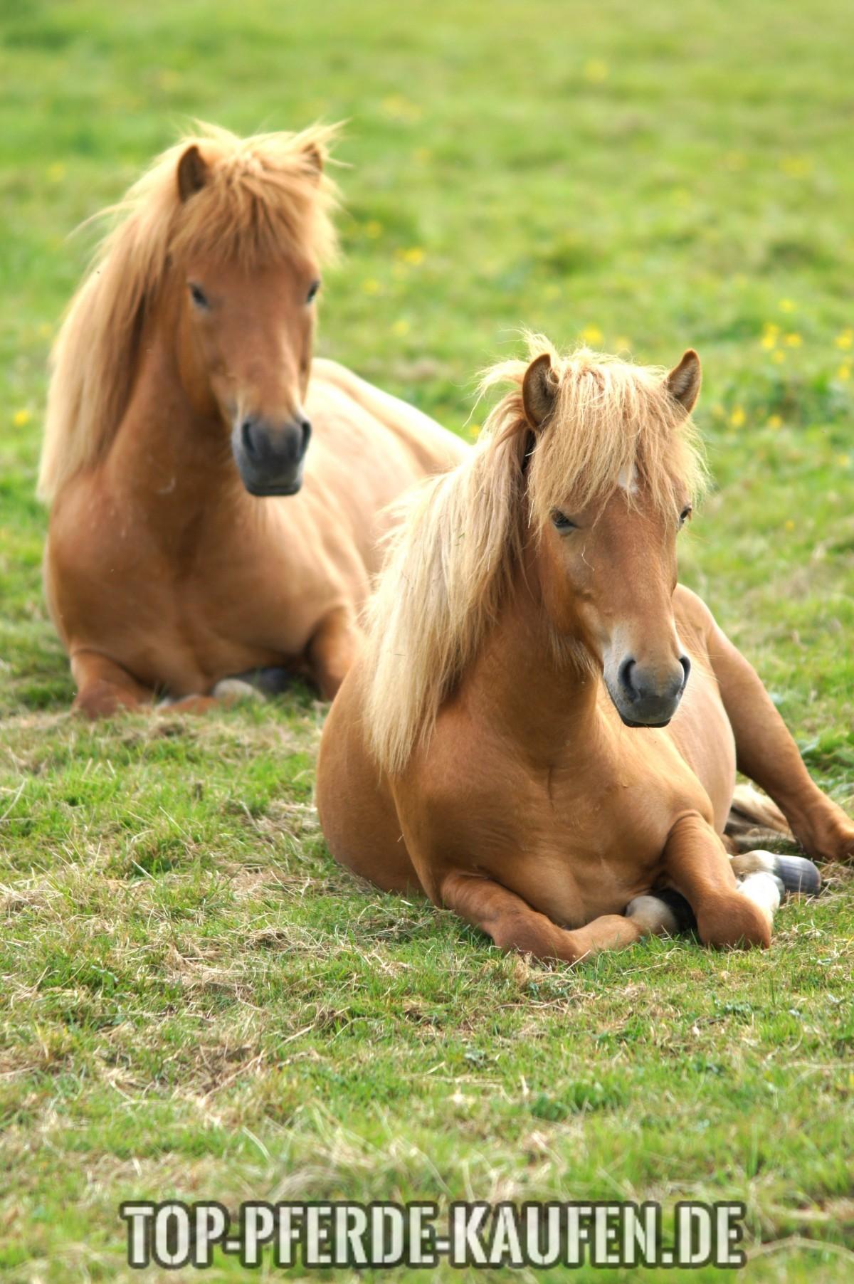 Pony kaufen