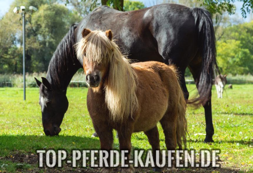 Pony kaufen - Was gibt es zu beachten?